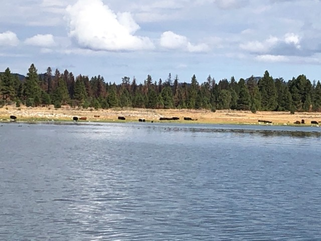 Eagle Lake Grazing Cows